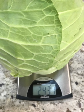 Weighing Cabbage